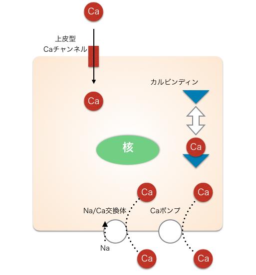 カルシウム吸収
